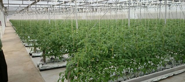 Hydroponics-Tomatoes-in-Greenhouse